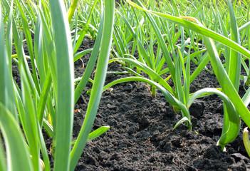 garlic plantation