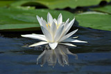 Water lily in the Danube delta