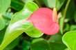 Anthurium/Flamingo flowers pink color
