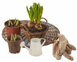 Hyacinths growing in a basket  and watering can isolated