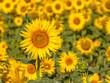 Detail of Field of Sunflower