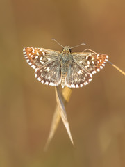 Butterfly (Pyrgus malvae) on Grass Spike with Neutral Brown Back