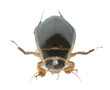 Great diving beetle, Dytiscus marginalis isolated
