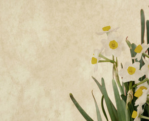 narcissus blooming on old paper