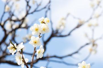青空の下の白い梅の花