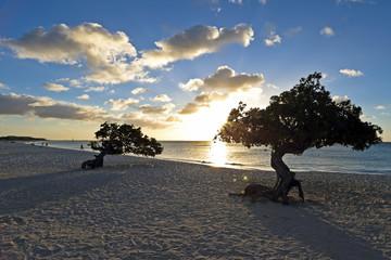 Dividivi treeson Aruba