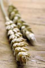 Triticum aestivum قمح طري Пшеница мягкая Common wheat