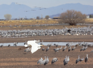 An Egret Flies Above a Crane Surivival Group