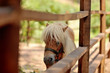 at the zoo behind a wooden fence stands with white mane pony