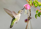 Annas Hummingbird Feeding on Clematis Vine Flowers
