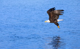 Eagle Grabbing a Fish from the Ocean, Alaska