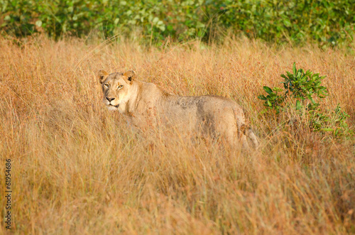 Lioness in Tall Grass, Kruger National Park