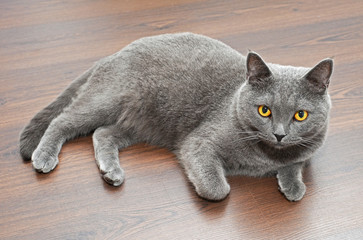British Shorthair cat, on a wooden background