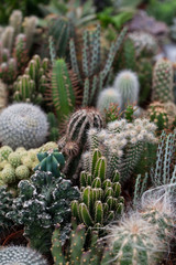 Variety of Cactus in a greenhouse.