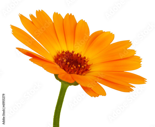 Poster Gerbera Orange daisy flower with petals