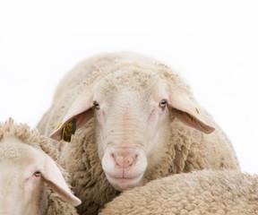 Ram portrait