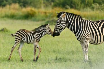 Zebrafohlen begrüßt Mutter