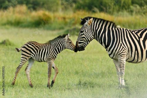 Foto op Plexiglas Zebra Zebrafohlen begrüßt Mutter