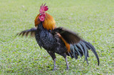 beautyful thai Roosters