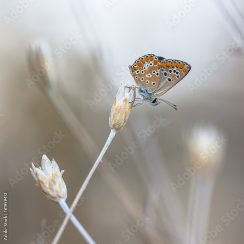 Brown Argus Butterfly on Light to White Natural Background