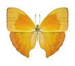Schmetterling gelb