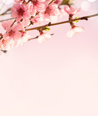 Branches with beautiful pink flowers (Peach).