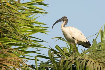 Sacred Ibis in a palm tree