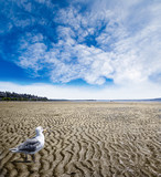 Seagull Scavenging for Food at Low Tide at White Rock Beach