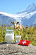 Swiss cow and milk