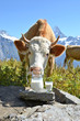 Jug of milk against herd of cows. Jungfrau region, Switzerland
