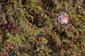 Sparrow on the juniper (Passer montanus)