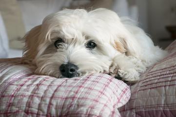cucciolo di maltese riposa su cuscini