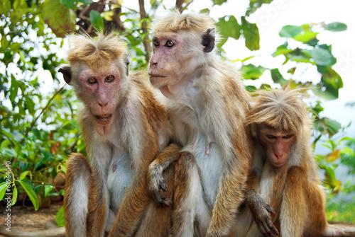 Staande foto Kameleon Monkey family at Sigiriya, Sri Lanka