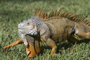 Portrait of a wild iguana lizard