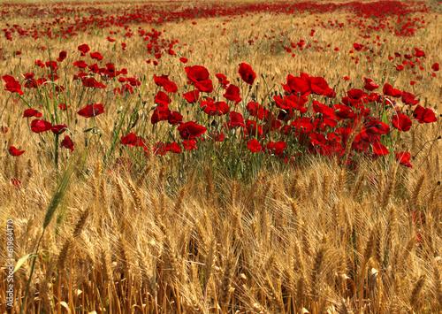 Red Poppy Flowers inside Wheat Field