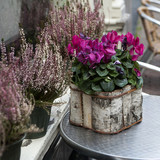 Pink cyclamen in pot birch bark  as a decoration of street cafe
