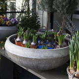 fresh colorful hyacinth flowers in big ceramic pot