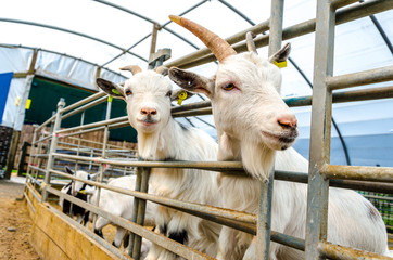 Penned Goats at Farm Visitor Centre
