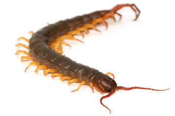 closeup of brown centipede