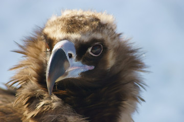Black vulture close up.
