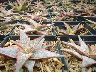 Star Aloe