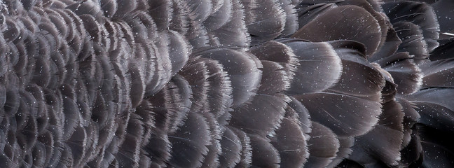 Raindrops on the Feathers of the Australian Black Swan