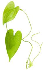 liane de hoffe, plante grimpante tropicale