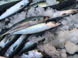 Uskumru Balıkları