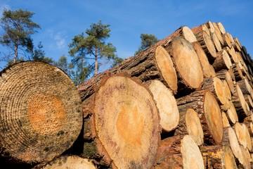 Waldrodung, Baumstämme - Schnittflächen