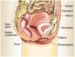 Weibliche Geschlechtsorgane im Querschnitt