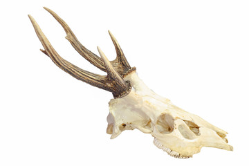 Trophy antlers isolated on white background