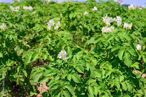 Young plants of a potato on a field