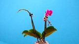 Orchid in flower pot on a bleu background