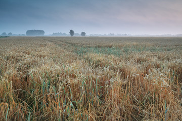 wheat field in summer morning